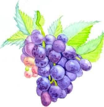 пишем виноград поэтапно